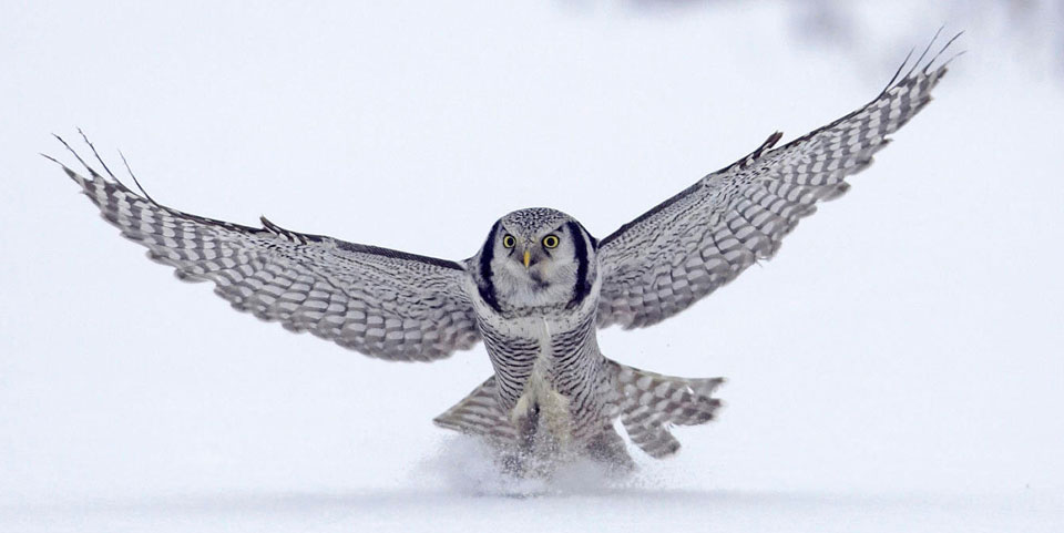 owl_flying
