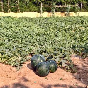 Melons d'Alger