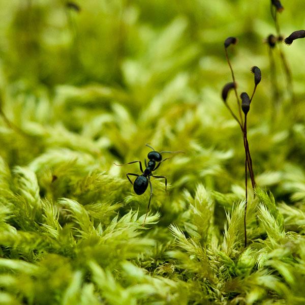Molsa amb formiga