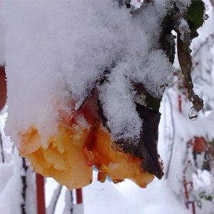 Roses flames en la neu