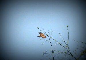 ocell fulla