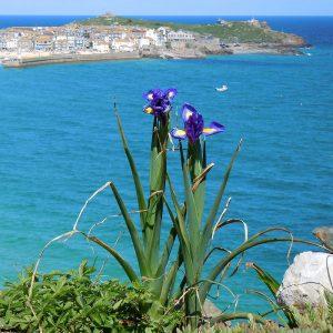 Lliris blaus a St. Ives
