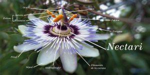 passiflora-nectari-diagrama